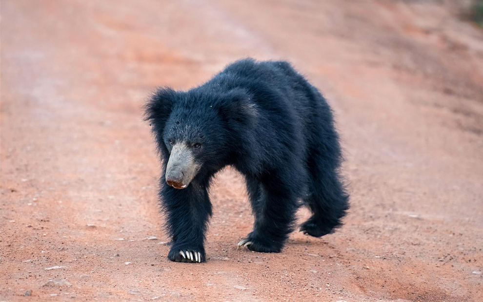 sri-lanka-bear-2